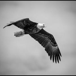 Bald Eagle by Dave Lipchen - Black & White Animals ( bald eagle )