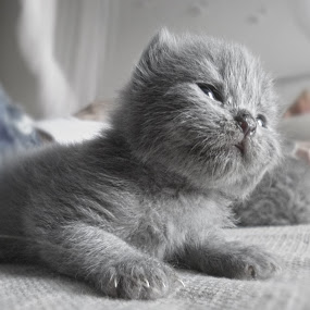 Kitten cat - grey scottish fold 20 days old by Stefano Rho - Animals - Cats Kittens ( cats, babies, kitten, cat, pet, pets, kittens, baby, cute, young, animal )