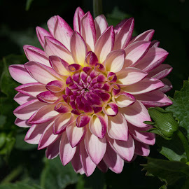 Dahlia by Janet Marsh - Flowers Single Flower ( pink and white, dahlia,  )