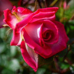 Red and White Tea Rose bud by Del Candler - Flowers Single Flower ( rose, red, green, tea rose, white, pink, bud,  )
