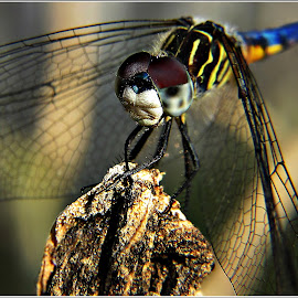 Sunday Evening by Kathy Hancock - Animals Sea Creatures ( macro, blue dasher, dragonfly, insect, animal )