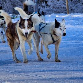 by Renaud Igor - Animals - Dogs Running