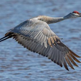 Spring Returns by Monica Hall - Animals Birds ( spring birds, bird, sand hill crane, crane, portrait,  )