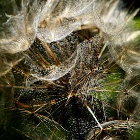 magic cups by Alex D.  Veriga - Nature Up Close Other plants ( gold cups, magic, alex veriga, l6, dandelion, 2013, texture, web, photography )