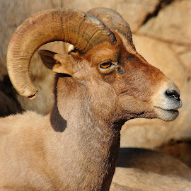 The bighorn sheep profile by Gérard CHATENET - Animals Other Mammals