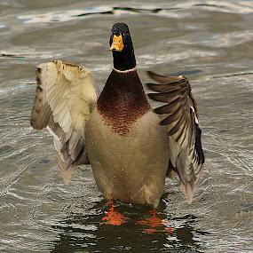 Taking Off! by Kelly Williams - Animals Birds ( bird, flying, flight, off, duck, swan, taking, goose )