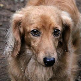 Jamie by Chrissie Barrow - Animals - Dogs Portraits ( red, dachshund (miniature long haired), long hair, pet, male, fur, ears, dog, tan, portrait, nsoe, eyes )