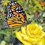 Yellow Rose by Freda Nichols - Painting All Painting ( butterfly, rose, monarch, yellow, painting, flower )