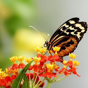 Butterfly on Flowers  by Amanda  Castleman  - Animals Insects & Spiders ( flowers, nature, butterfly, insect, animal,  )