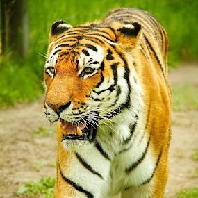 Tiger Walk by Dustin Wawryk - Animals Lions, Tigers & Big Cats
