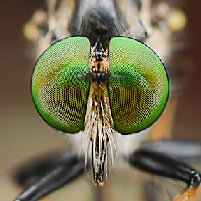 robberfly eye by Zaidi Razak - Animals Insects & Spiders