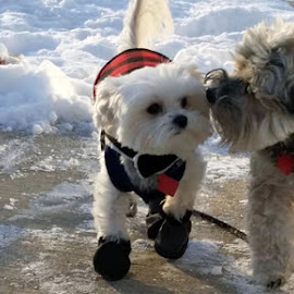 by Pam Satterfield Manning - Animals - Dogs Portraits ( 2, walking, puppies, best friends, pattern, furry, snow, action, booties, dog, bokeh, furry friends, animal )
