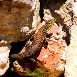 Are you sure this is my best side? by Jacquie Woodburn - Novices Only Wildlife ( lizard, shaded, sunny, greece, lefkada, garden, rocks )