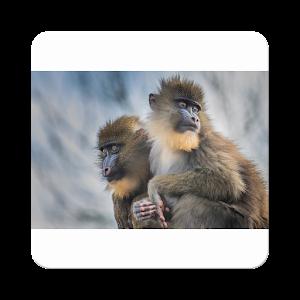 Animals-Monkey-King8