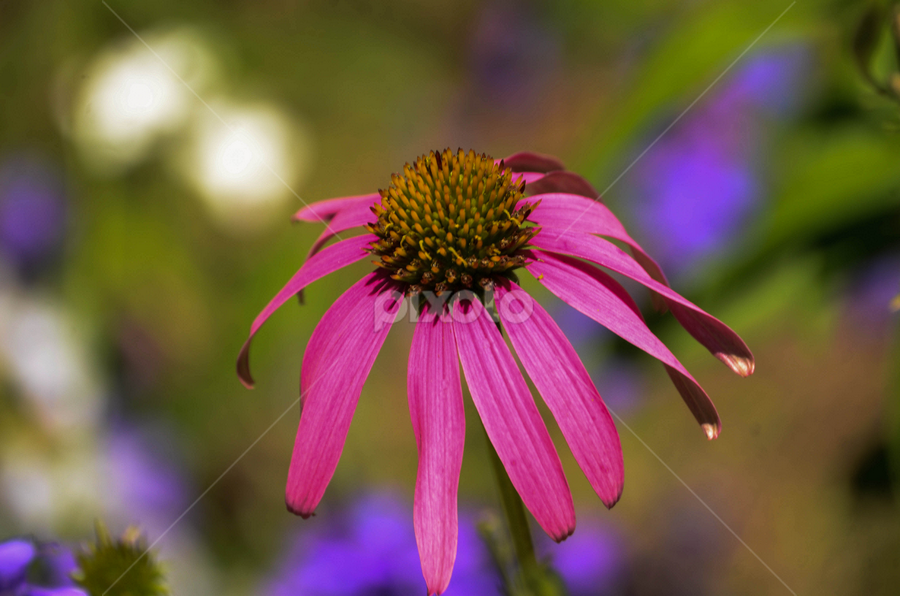 Pink Coneflower by Patricia Kousaleos - Nature Up Close Flowers - 2011-2013 ( nature, pink, bokeh, flower )