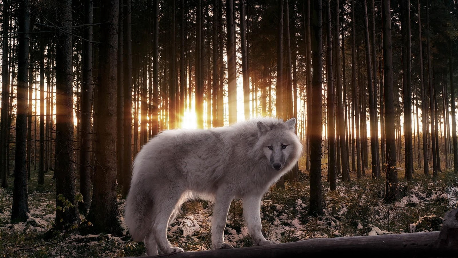 White-Wolf-Live-Wallpaper-HD 5