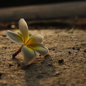 spreading fragrance  by Kapil Shendge - Flowers Single Flower ( panchgani, nature, flora, nature up close, india, flower )