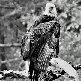 Bald Eagle by Hal Gonzales - Black & White Animals ( looking, eagle, black and white, hunting, branch,  )