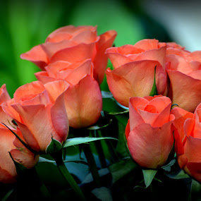 Roses by Leif Holmberg - Nature Up Close Flowers - 2011-2013 ( orange, rose, nature, finland, turku, flowers,  )