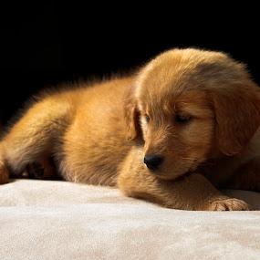 Golden Retriever by Cristobal Garciaferro Rubio - Animals - Dogs Puppies ( pet, puppie, golden, golden retriever )