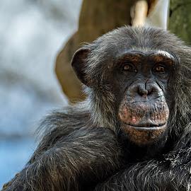 Sittin' Around Waiting by Roy Walter - Animals Other Mammals ( chimpanzee, zoo, ape, wildlife, chimp, mammal, animal )