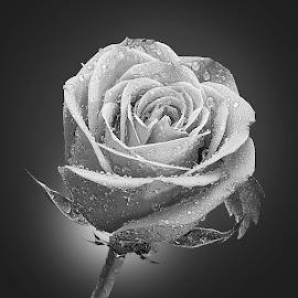 by Rakesh Syal - Black & White Flowers & Plants