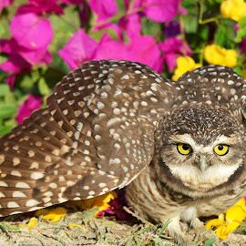 Burrowing owl! by Itamar Campos - Animals Birds