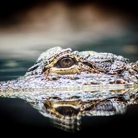 Croc by Valliappan Chellappan - Animals Reptiles ( reflection, crocodile, croc, reptile, animal )