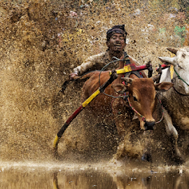 Move Away by Henry Kurniawan - Sports & Fitness Other Sports ( journalism, tanah datar, sports, people, west sumatera, cows, nature, padang, outdoor, tradition, bukit tinggi, documentary, pacu jawi, culture )