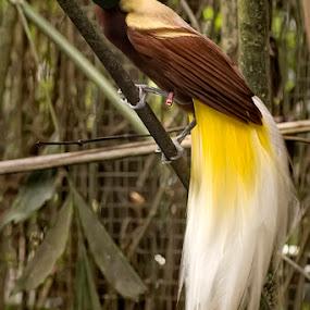 Cendrawasi by Rizky Darmawan - Animals Birds