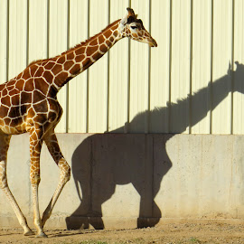 My shodow and me. by Nancy Young - Animals Other ( zoo, giraffe, shadow, animal )