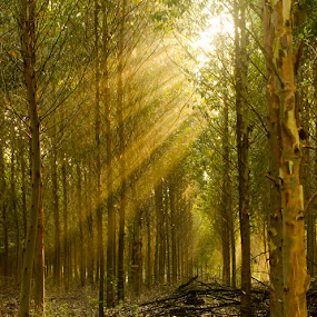 Forest Light Rays by Steven McGregor - Landscapes Forests ( forest light rays )