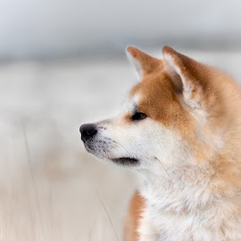 Namka by Magdalena Sikora - Animals - Dogs Portraits ( akita portait, akita inu, red akita inu )