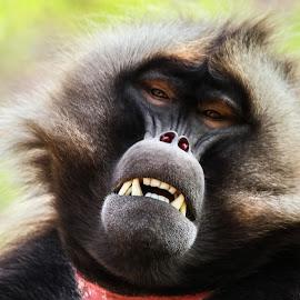Gelada by Garry Chisholm - Animals Other Mammals ( garry chisholm, baboon, nature, gelada, ape, wildlife, primate )