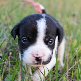 Exploring by Amanda Ferrer - Animals - Dogs Puppies ( pet, puppy, dog )