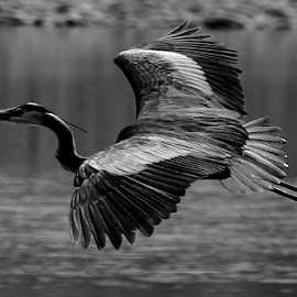 flight of the heron by Lyn Simuns - Black & White Animals ( flight, outdoors, nature, black and white, heron )