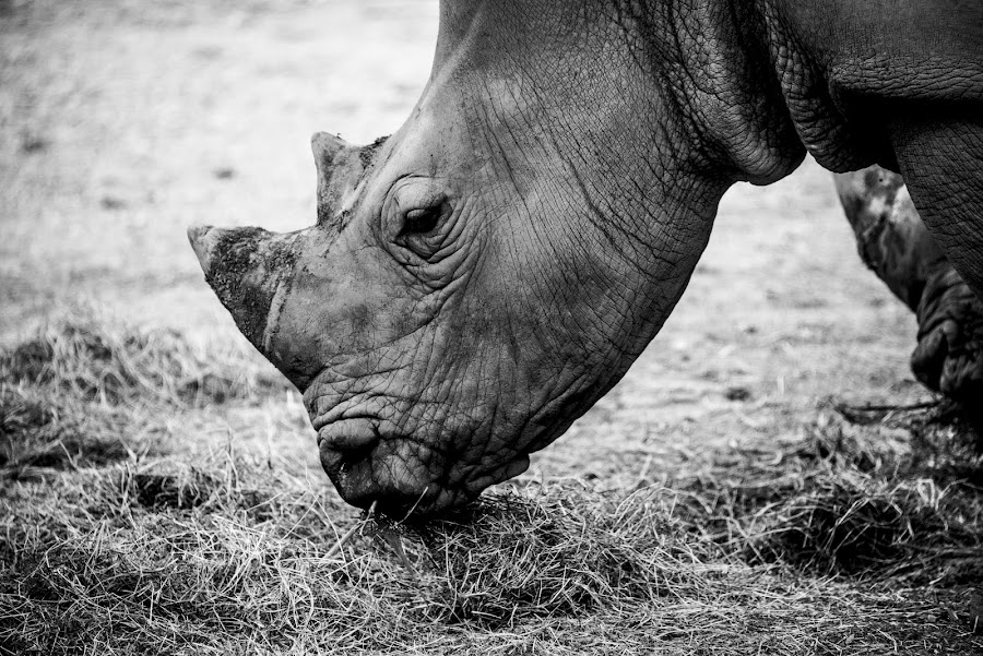 Rhinoceros looks back by Zahidur Rahman - Animals Other ( wild, horns, black and white, grass, thailand, wildlife, rhino, close up, portrait, skin, eyes, rhinoceros, safari, eating, closeup )