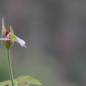 Rosee Rose by Mahesh Gadekar - Flowers Flower Buds (  )