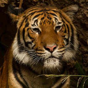 Malayan tiger by Marc Zangger - Animals Lions, Tigers & Big Cats ( big cat, malayan tiger, tiger, wildlife, head, panthera tigris jacksoni )