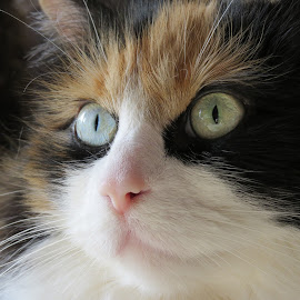 Sweet Caramel by Elizabeth Donovan-Jenkins - Animals - Cats Portraits ( cat, longhaired, feline, pretty, eyes, calico cat )