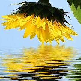 nice sunflower by LADOCKi Elvira - Digital Art Things ( flowers )