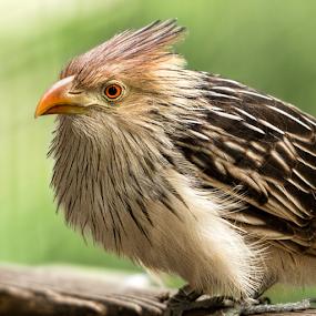 Guira Cuckoo by Judy Rosanno - Animals Birds