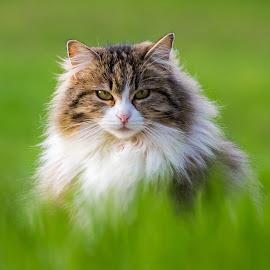 Beauty In The Grass by Miro Zalokar - Animals - Cats Portraits