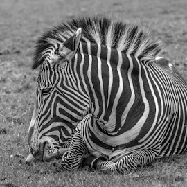 Zebra by Garry Chisholm - Black & White Animals ( zebra, whipsnade, mammal, nature, garry chisholm )