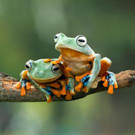 Javan tree frog on branch by Kurit Afsheen - Animals Amphibians ( tree frog, amphibian )