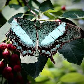 Blue & Tattered by Jenifer Gutke - Animals Other ( butterfly, macro, battle, nature, blue, wings, scars, teal, butterfly wings,  )