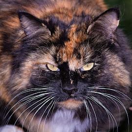 Garfield by Doris B - Animals - Cats Portraits ( wild, cat, moustache, garfield, animal )