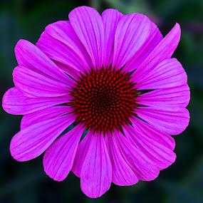 Violet Flower by Naveen Naidu - Flowers Single Flower