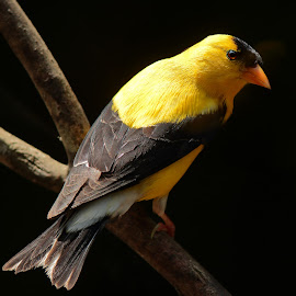 Male American Goldfinch  by Paul Mays - Animals Birds