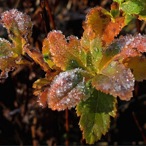 Too Soon! by Dorothy Koval - Nature Up Close Leaves & Grasses ( water drops, melting, autumn leaves, ice crystals, foliage, early frost, leaves, nature, fall, autumn, abscission, folliage )